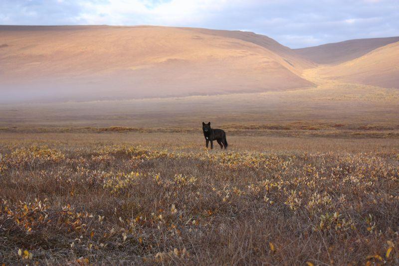 Arctic Refuge 4 wolf