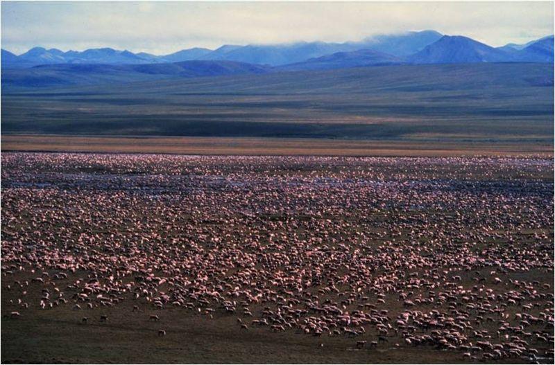 Caribou Herd dan ritzman