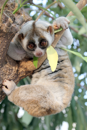 Slow Loris by iStockphoto:Warmer