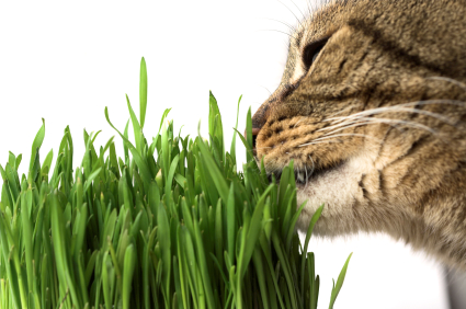 Cat grass eco-pet