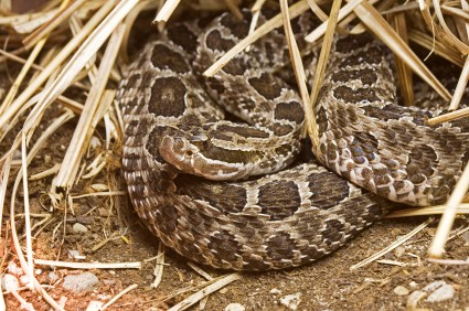 Massasauga is on the Candidate List