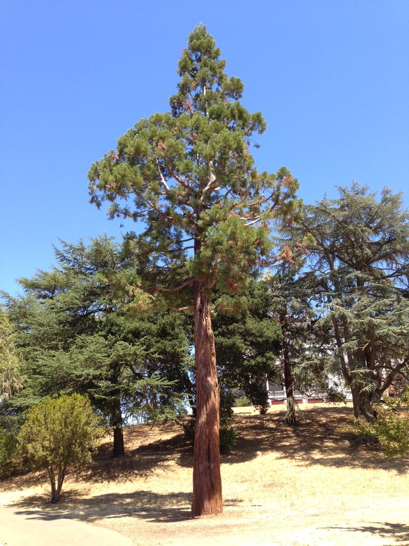 John Muir Giant Sequoia