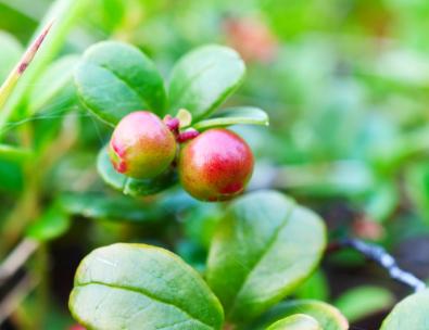 Immature cranberries