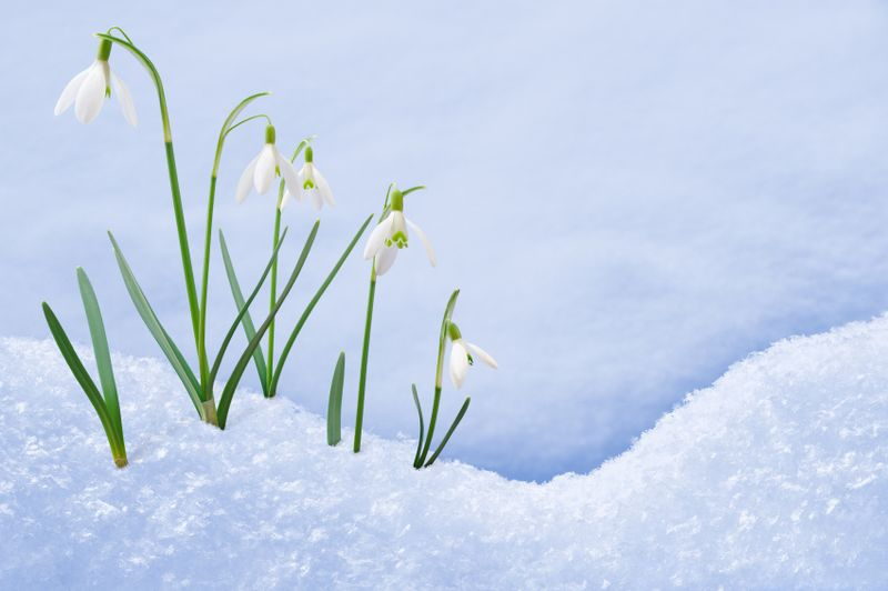 Snowdrops break through the snow