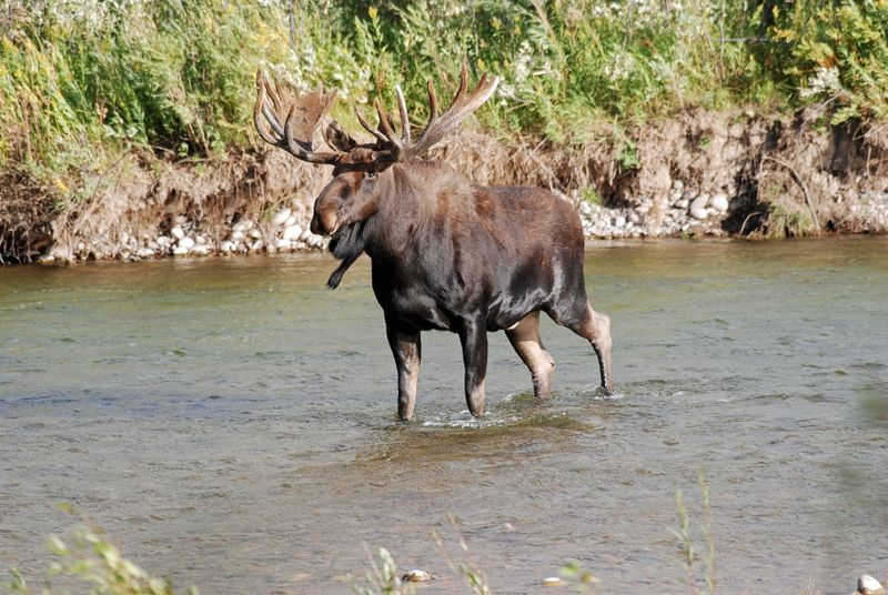 This moose could be your company on the Thelon RIver