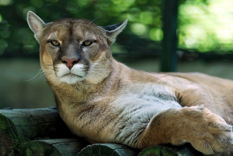 Mountain Lions are found throughout the Santa Monica Mountains