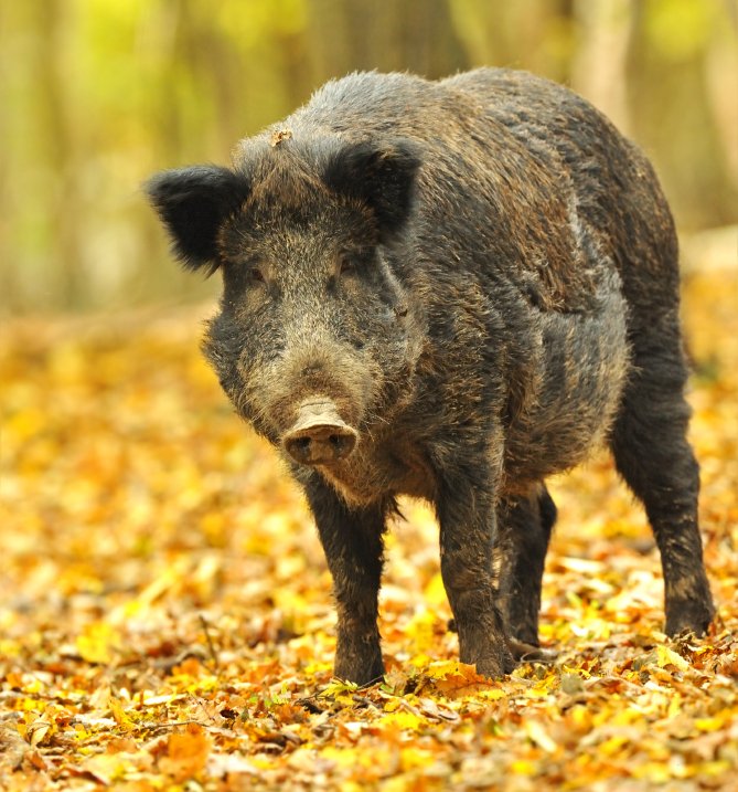 Wild Boars wreak havoc on Berlin's parks
